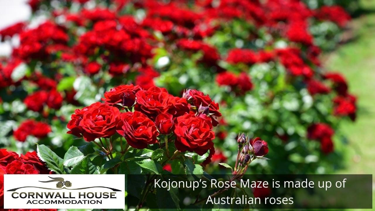 Kojonup's Rose Maze is made up of Australian roses